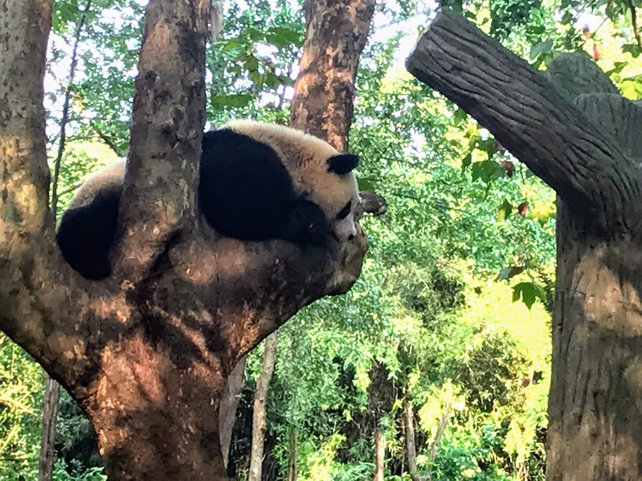 How To Do Your Own Panda Tour in Chengdu 16