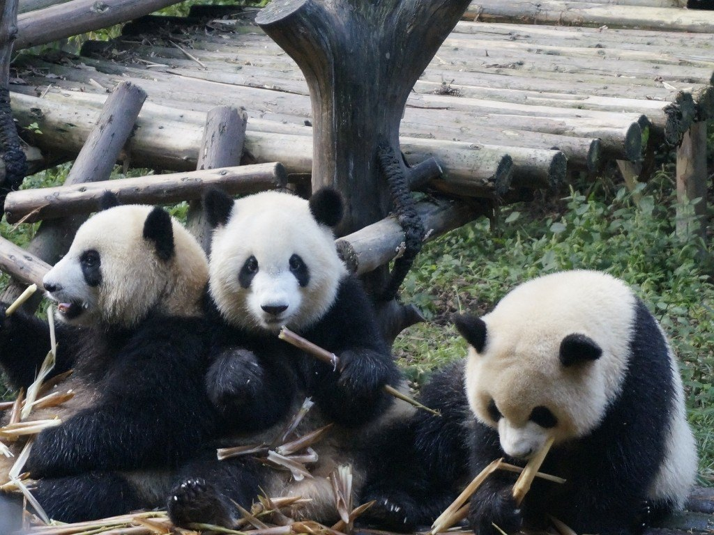 How To Do Your Own Panda Tour in Chengdu 2