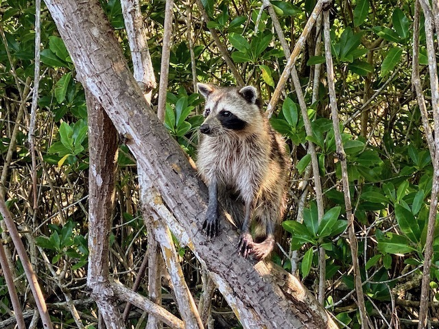 Things To Do In the everglades raccoon