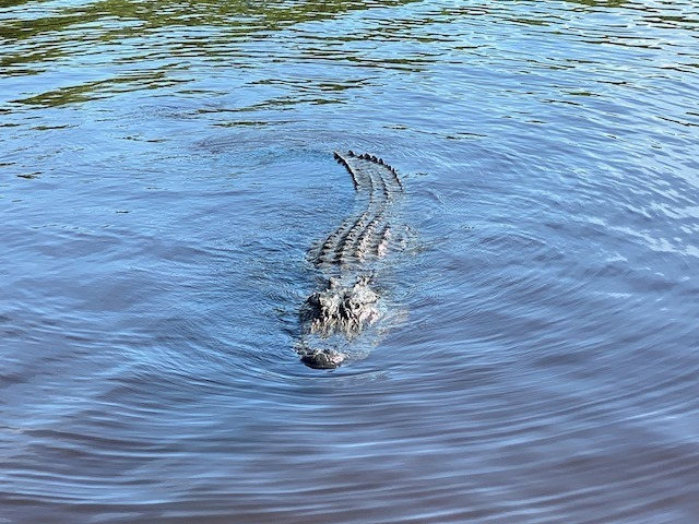 Things To Do In the everglades Crocodile